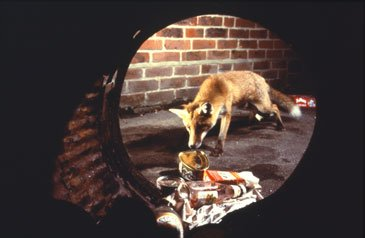 fox control pest vermin vulpine foxes